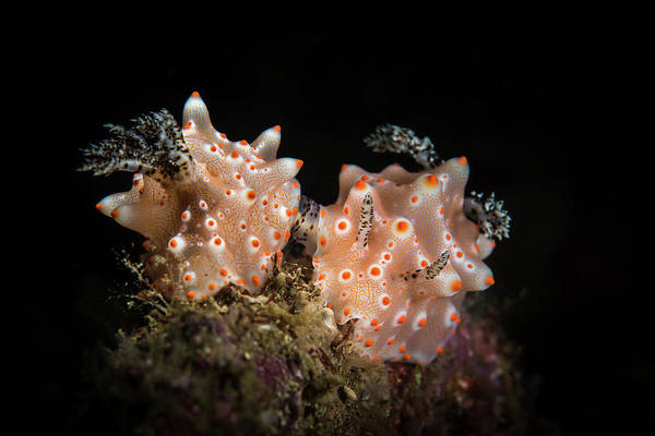 Wall Art - Photograph - A Pair Of Halgerda Batangas Nudibranchs by Brook Peterson