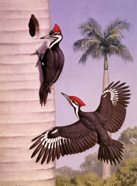 Wall Art - Photograph - A Pair Of Pileated Woodpeckers Nest by Walter A. Weber
