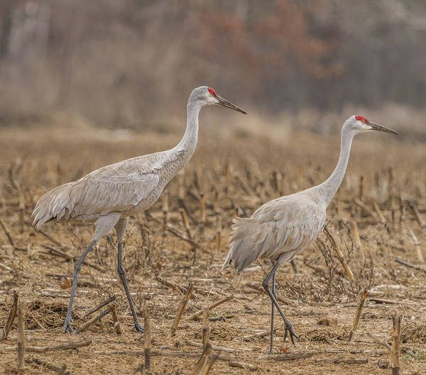 Photograph - A Pair Of Sandhill Cranes 2014-1 by Thomas Young