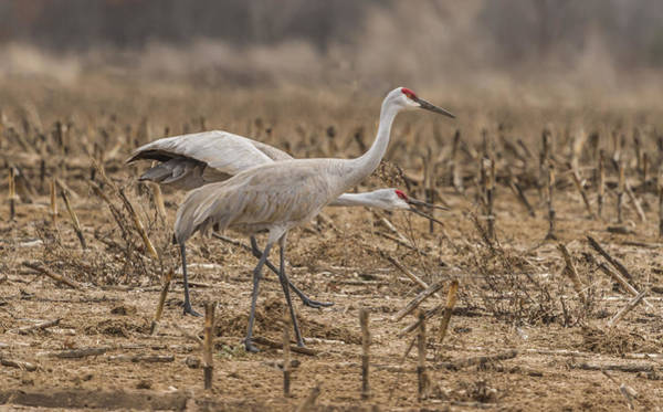 Photograph - A Pair Of Sandhill Cranes 2014-2 by Thomas Young