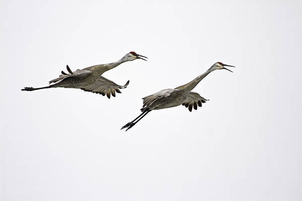 Photograph - A Pair Of Sandhill Cranes by Thomas Young