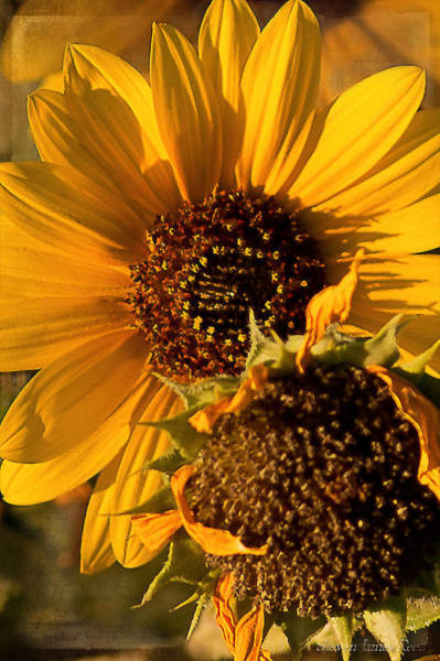 Floristry Photograph - A Pair Of Sunflowers by Steven Reed