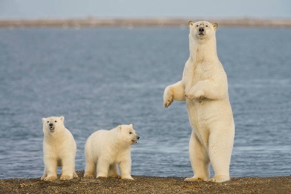 Sow Photograph - A Pair Of Young Polar Bear Cubs Look by Hugh Rose