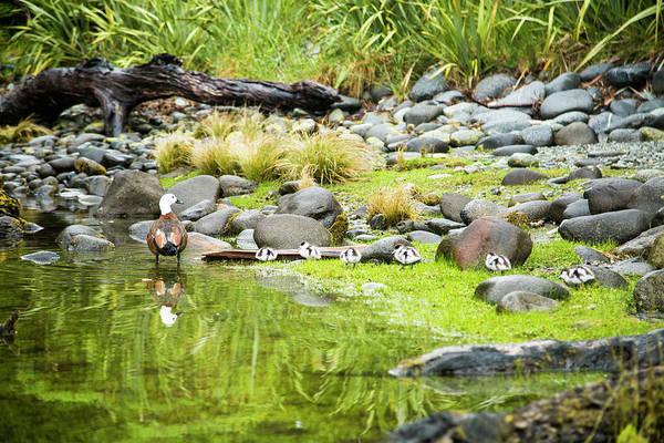Drift Photograph - A Paradise Shelduck And Its Ducklings by Paul Bikis
