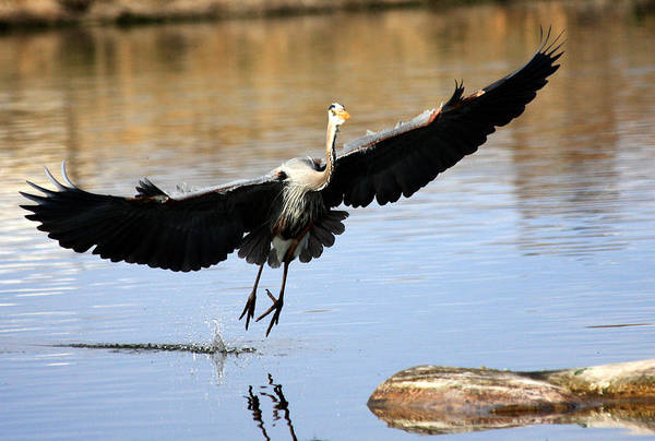 Photograph - A Perfect Landing by Shane Bechler