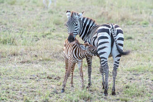 Foal Photograph - A Plains Zebra, Equus Quagga, Nursing by Tom Murphy