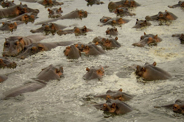Frenzy Wall Art - Photograph - A Pod Of Hippos In Water by Animal Images