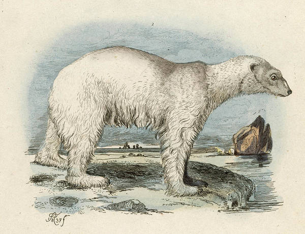 Polar Bear Drawing - A Polar Bear At The Water's  Edge by Mary Evans Picture Library