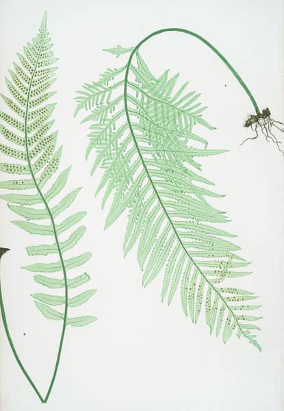 Organic Drawing - A. Polypodium Vulgare Semilacerum. B. P. Vulgare Serratum by Artokoloro