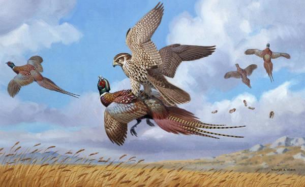 A Prairie Falcon Strikes A Ring-necked Art Print