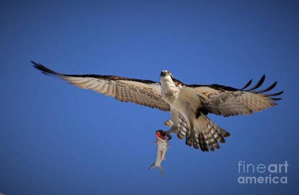 River Hawk Photograph - A Predator's Catch by Quinn Sedam