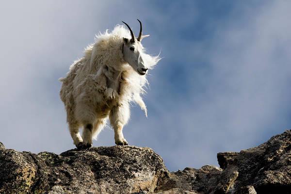 Mountain Goat Photograph - A Proud, Shaggy Mountain Goat Oreamnos by Scott Dickerson
