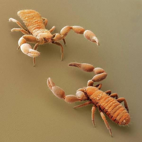 Arachnida Wall Art - Photograph - A Pseudoscorpion Challenge (sem) by Power And Syred