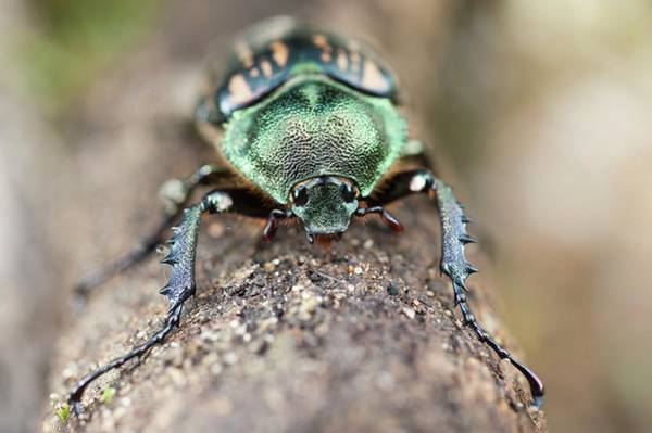 West Highlands Photograph - A Pumpkin Beetle by Scubazoo