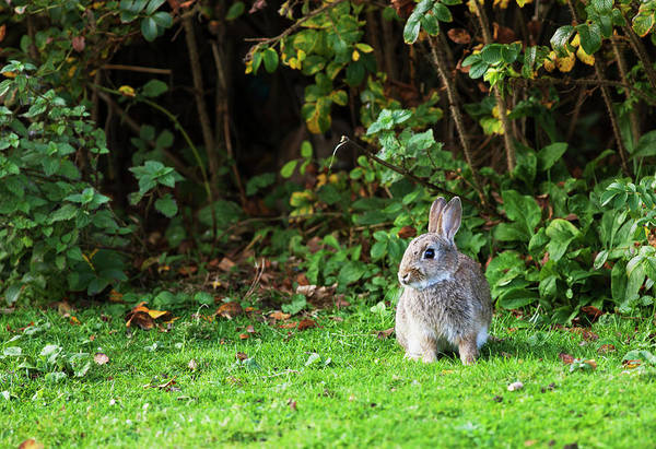 Galloway Wall Art - Photograph - A Rabbit On The Grass by John Short / Design Pics