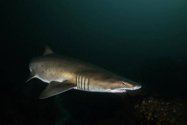 Wall Art - Photograph - A Ragged-tooth Shark Hunting For Food by Alessandro Cere