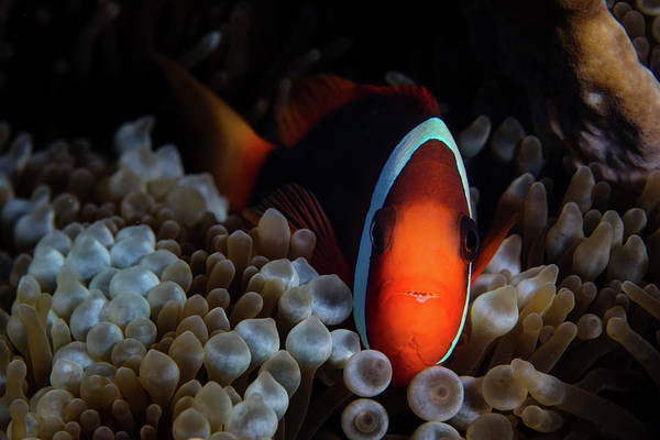 Amphiprion Melanopus Photograph - A Red And Black Anemonefish Sunggles by Ethan Daniels
