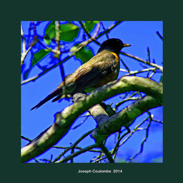 Photograph - A Robin Song In Spring by Joseph Coulombe