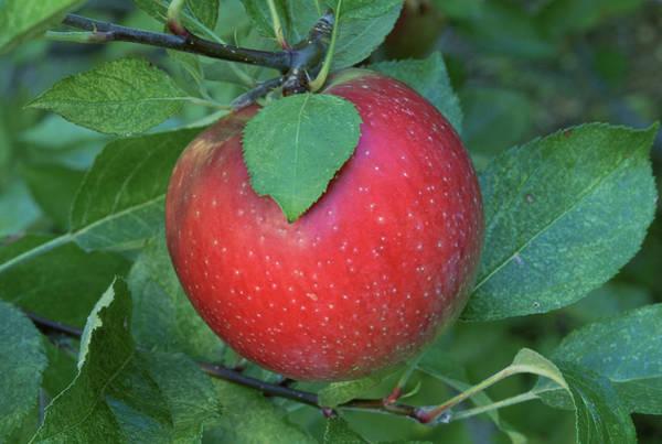 A 'rome Beauty' Apple On A Tree. Art Print by Inga Spence