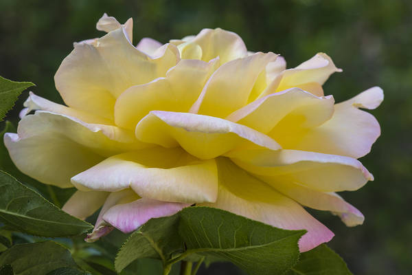 Photograph - A Rose By Any Other Name... by Loree Johnson