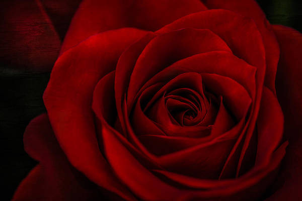 Photograph - A Rose By Any Other Name by Maria Robinson