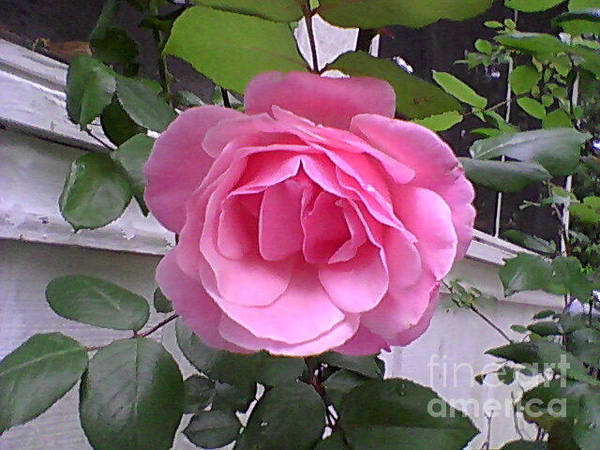 Photograph - A Rose by Catherine Lott
