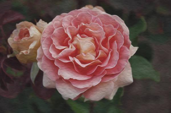 Filoli Photograph - A Filoli Rose For You by Patricia Dennis