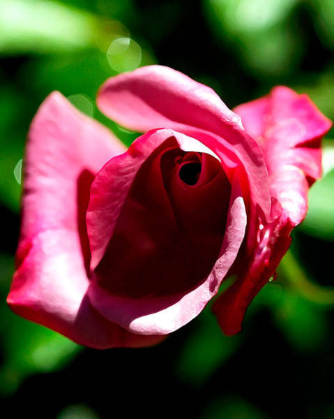Photograph - A Rose Is A Rose Is A Rose by Wayne Wood