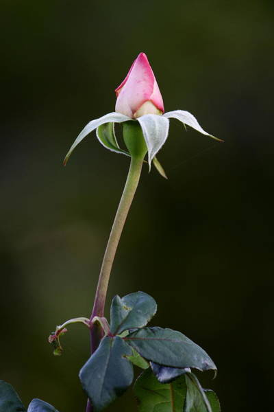 Photograph - A Rose Is Being Born by Goyo Ambrosio