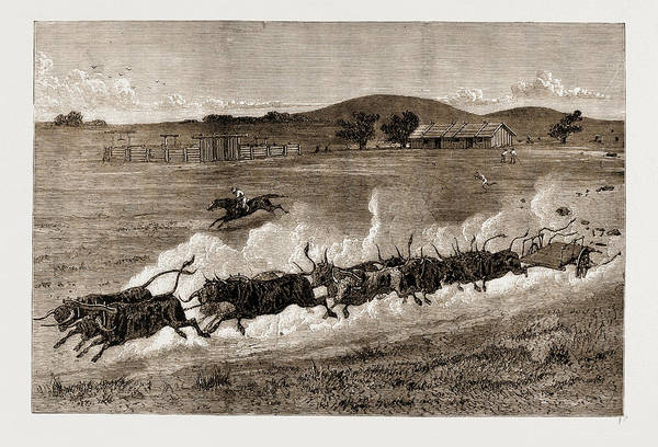 New South Wales Drawing - A Runaway Bullock Team, New South Wales, Australia by Litz Collection