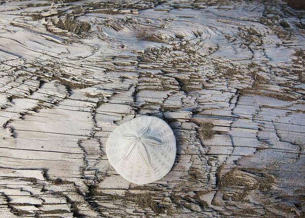Vancouver Island Photograph - A Sandollar On A Piece Of Driftwood On by Debra Brash / Design Pics