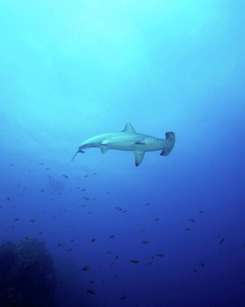 Hammerhead Photograph - A Scalloped Hammerhead Shark by Brent Barnes