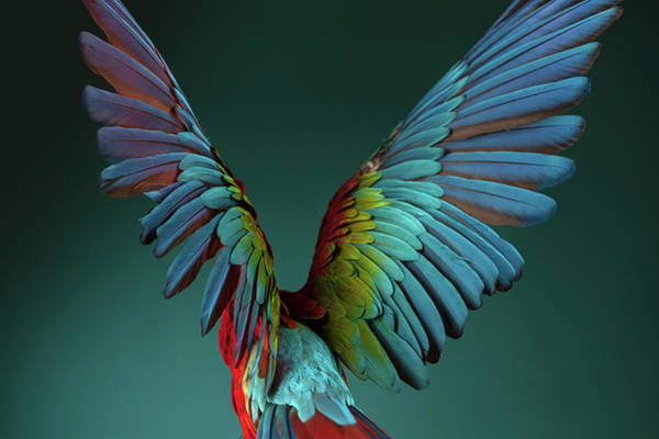 Macaw Photograph - A Scarlet Macaw Spreads Its Wings by Tim Platt