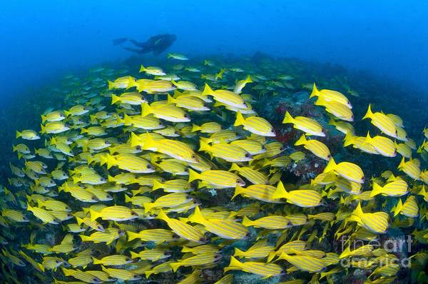 Photograph - A School Of Bluelined Snappers by Alex Mustard