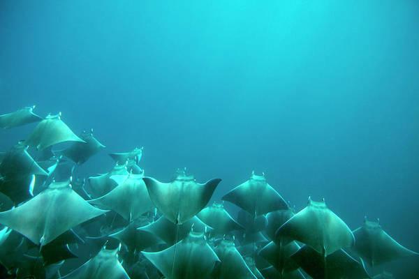 Free Dive Wall Art - Photograph - A School Of Manta Rays Feed by Logan Mock-Bunting