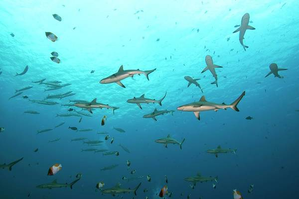 Carcharhinidae Photograph - A School Of Sharks by Scubazoo/science Photo Library