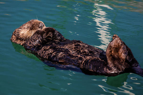 Gulf Of Alaska Photograph - A Sea Otter Is Floating On Its Back by Animal Images