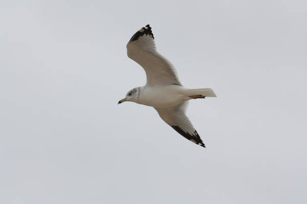 Photograph - A Seagull Soaring by Kirkodd Photography Of New England