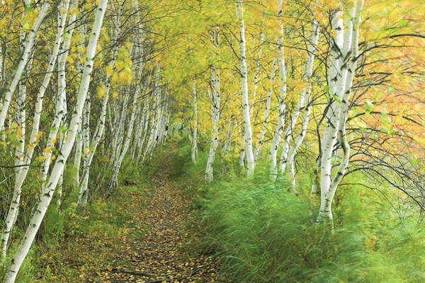 Photograph - A Sedge-lined Trail Through A Birch by Michael Melford