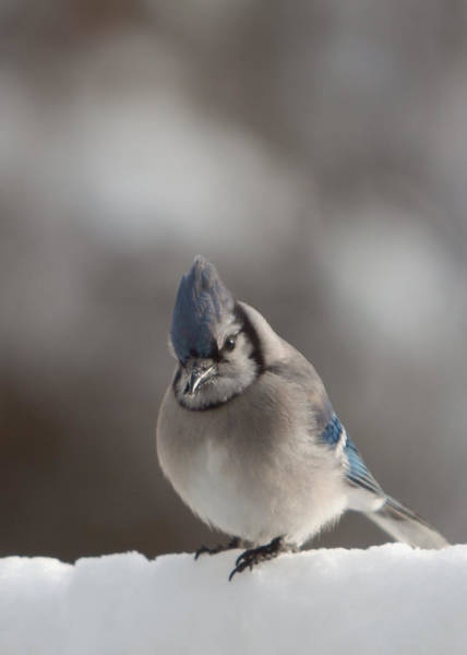 Photograph - A Blue Jay Sits Waiting by Jeff Folger