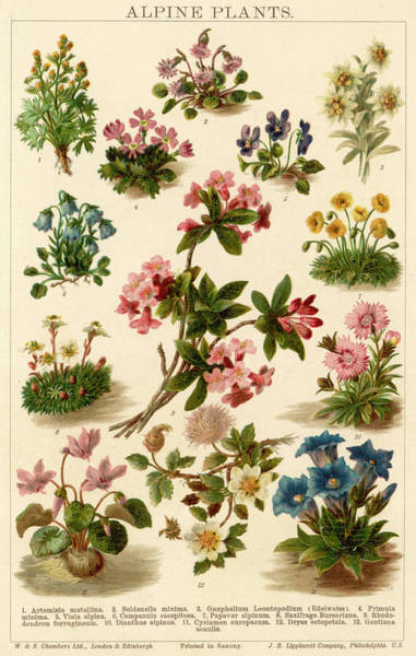 Early 20th Century Drawing - A Selection Of Alpine Plants by Mary Evans Picture Library