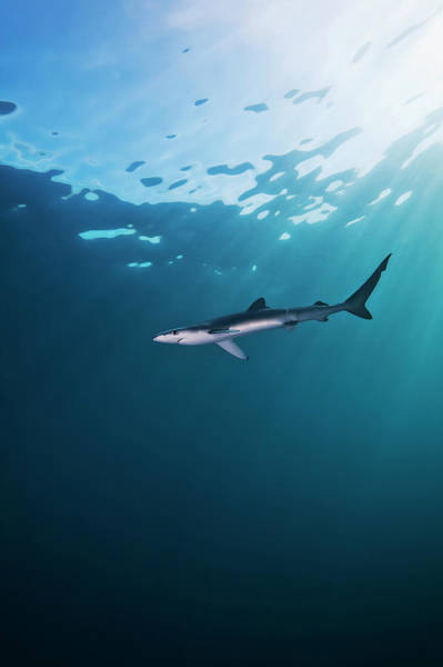 Underwater Photograph - A Shark Underwater by Mike Raabe / Design Pics