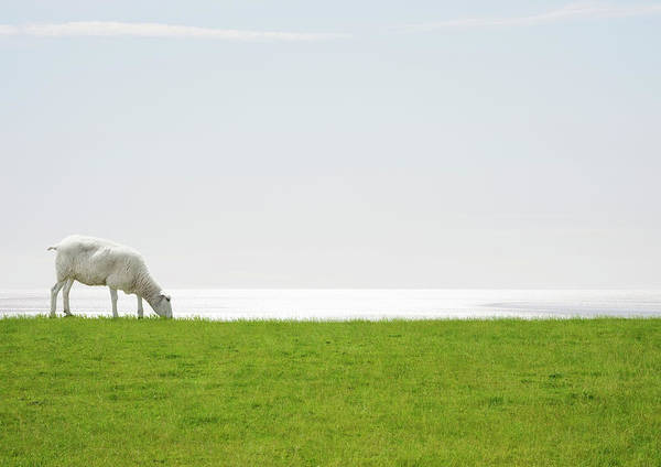 Grazing Photograph - A Sheep Grazing With The Sea On The by Luxx Images