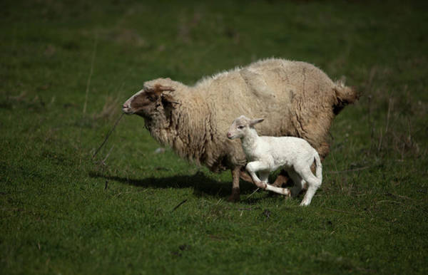 Ovine Photograph - A Sheep Runs With Her Lamb In A Green by Chico Sanchez