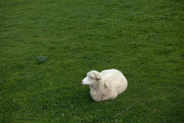 Ovine Photograph - A Sheep Stands In A Green Prairie by Chico Sanchez