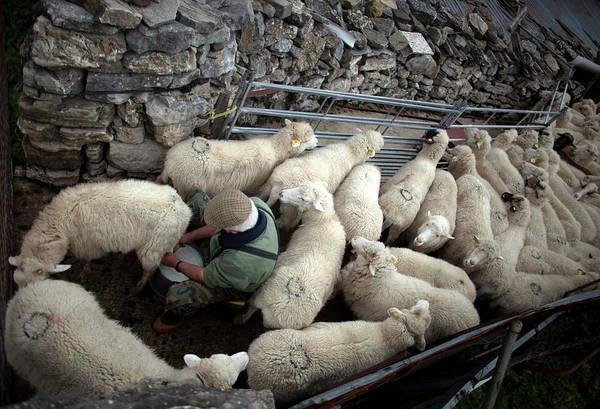 Ovine Photograph - A Shepherd Milks Sheep By Hand by Chico Sanchez