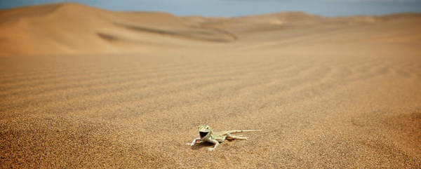 Urban Wildlife Photograph - A Shovel-snouted Lizard In Swakopmund by Marc Pagani