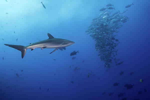 Roca Wall Art - Photograph - A Silky Shark Hunting Its Next Meal by Brook Peterson
