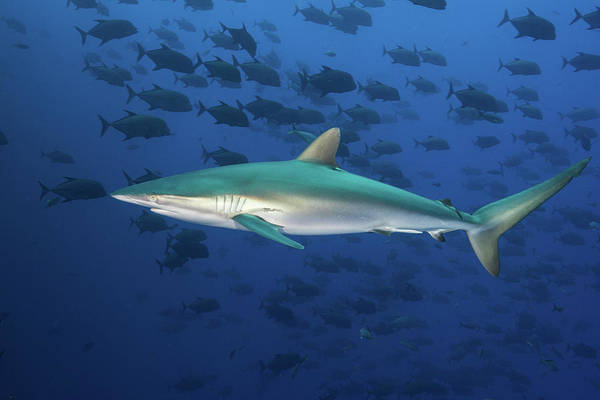 Roca Wall Art - Photograph - A Silky Shark Swims Against A School by Brook Peterson