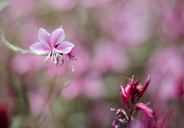Photograph - A Single Gaura Blossom by Heather Applegate